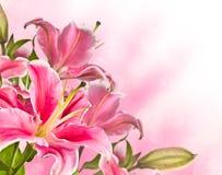 Blomma rosa liljablomma Arkivfoton