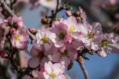 Blomma rosa och vita mandelrader av träd Royaltyfria Foton