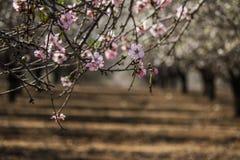 Blomma rosa och vita mandelrader av träd Royaltyfri Bild