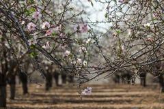 Blomma rosa och vita mandelrader av träd Royaltyfria Bilder