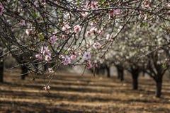 Blomma rosa och vita mandelrader av träd Royaltyfri Fotografi