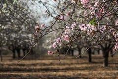 Blomma rosa och vita mandelrader av träd Arkivfoto