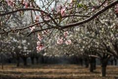 Blomma rosa och vita mandelrader av träd Fotografering för Bildbyråer
