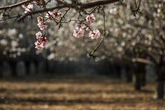Blomma rosa och vita mandelrader av träd Arkivbild