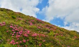 Blomma rosa rhododendron i sommarberg royaltyfri bild