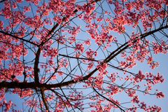blomma rosa sakura Arkivfoto