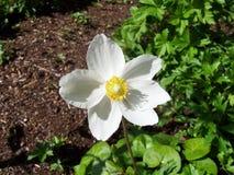 Blomma Rose Drops Petals Arkivbilder
