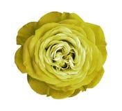 blomma rose yellow Vit isolerad bakgrund med den snabba banan Natur Closeup inga skuggor Fotografering för Bildbyråer