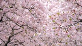 Blomma sakura den körsbärsröda blomningen lager videofilmer