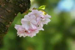 Blomma Sakura eller körsbäret Arkivbilder