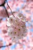 Blomma Sakura eller körsbäret Arkivfoto