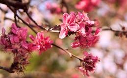 Blomma Sakura för körsbärsröd blomning arkivfoton