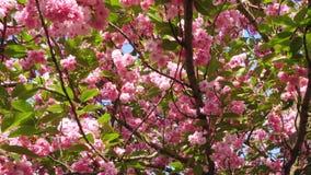blomma sakura tree stock video