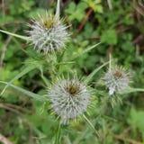blomma scotland Arkivbilder