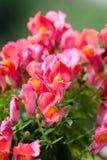 blomma snapdragon arkivfoto