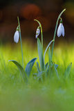 blomma snowdrop Royaltyfri Fotografi
