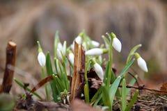blomma snowdrop Arkivbilder