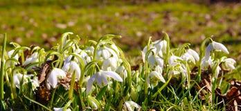 blomma snowdrop Fotografering för Bildbyråer