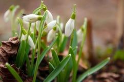 blomma snowdrop Royaltyfri Bild