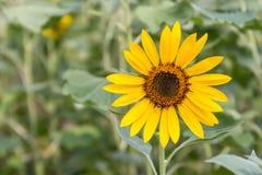 Blomma solblomma Arkivfoto