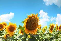 blomma solros Royaltyfri Bild