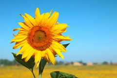 blomma solros Arkivbilder