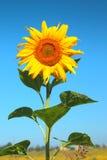 blomma solros Royaltyfri Foto