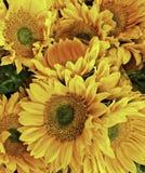 Blomma solros, ljusa gula kronblad med skarpa detaljer royaltyfria bilder