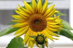 blomma solrosen Arkivbild