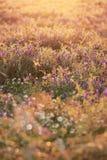 Blomma som är löst i solnedgång royaltyfria bilder