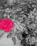 Blomma som är svartvit, färgfärgstänkbilder, härlig bild arkivfoto