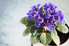 Blomma som är violett i en kruka på marmorfönsterbrädan arkivbilder