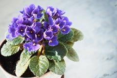 Blomma som är violett i en kruka på marmorfönsterbrädan royaltyfria foton