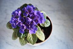 Blomma som är violett i en kruka på marmorfönsterbrädan royaltyfri foto