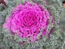 Blomma som blomkålen Arkivfoton