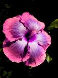 Blomma som blommar precis på natten Fotografering för Bildbyråer