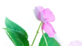 Blomma som blommar Timelapse lager videofilmer