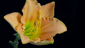 Blomma som blommar Timelapse 4k arkivfilmer