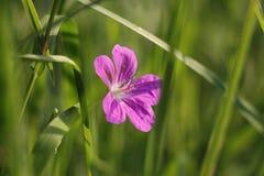 Blomma som dyker upp från gräs royaltyfria bilder