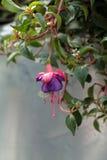 Blomma som en klocka Arkivbilder