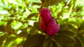 Blomma som ska öppnas i morgonen arkivbild