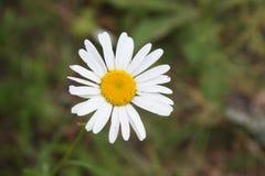 Blomma som ska förutsäga till dig förälskelse Royaltyfria Foton