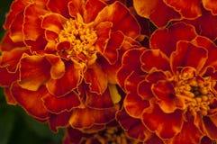 blomma som skiner Royaltyfri Foto