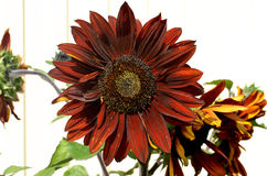 Blomma sommar, solros, natur, sidor, kronblad, blom, växter, trädgård, kökträdgård Arkivfoton
