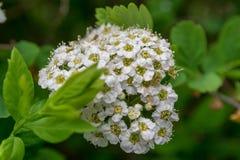 Blomma spireabusken i parkera på en klar dag royaltyfria bilder