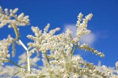 blomma spireawhite royaltyfri fotografi