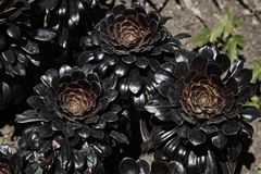Blomma suckulent Arkivbild