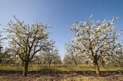 Blomma sur bred ängel för körsbärsröd fruktträdgård Royaltyfria Foton