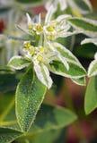blomma tät euphorbiamarginata upp Royaltyfri Foto