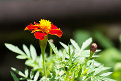 Blomma Tagetes Royaltyfria Bilder